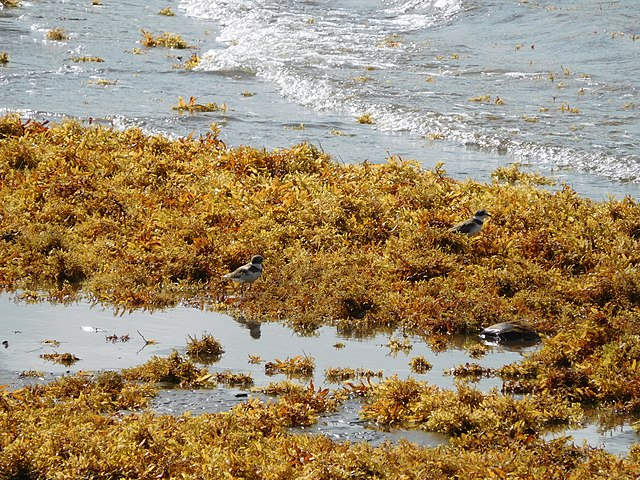 Beach Sargassum