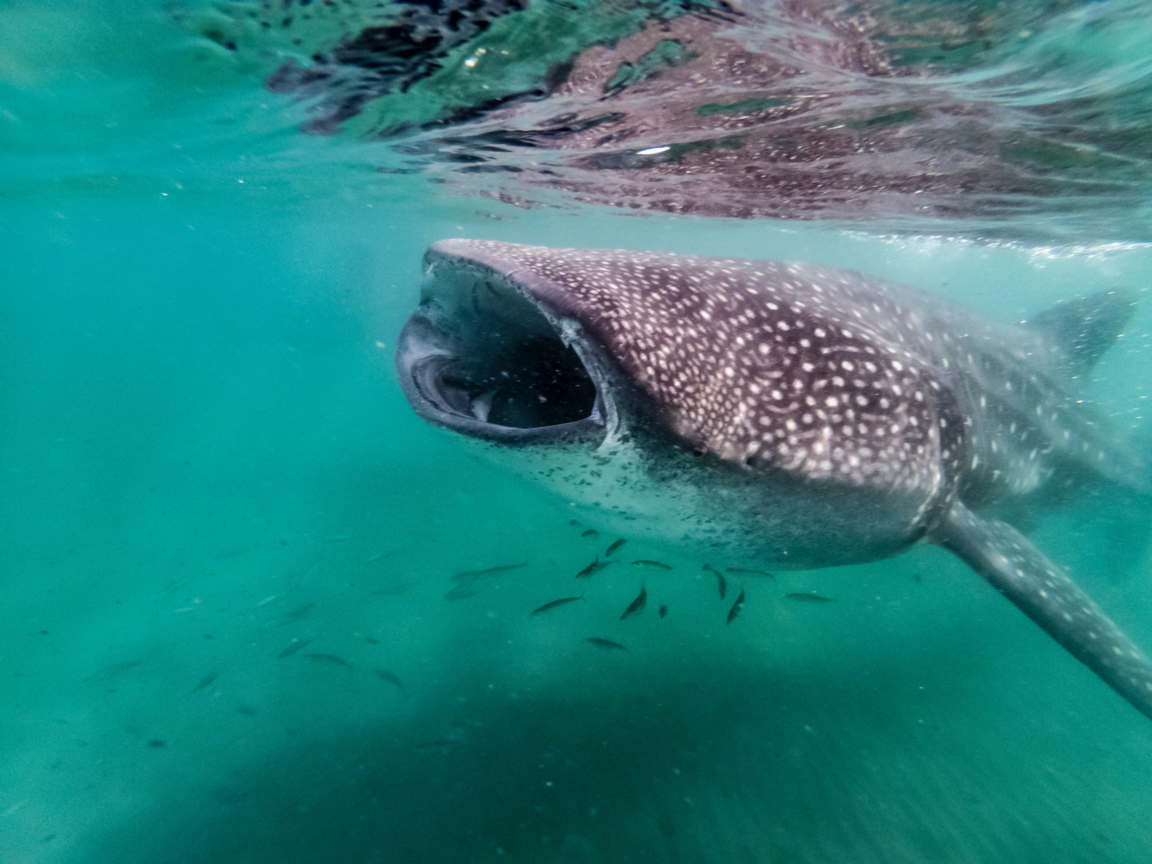 Whale sharks-eating