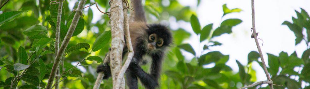 Spider Monkey Punta Laguna