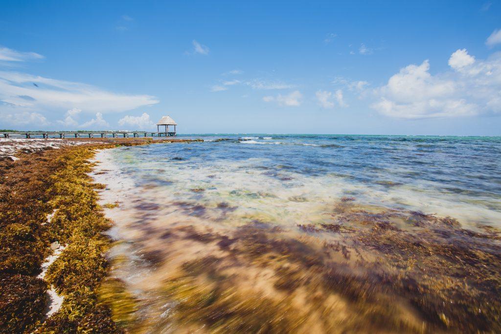 sargasso_seaweed